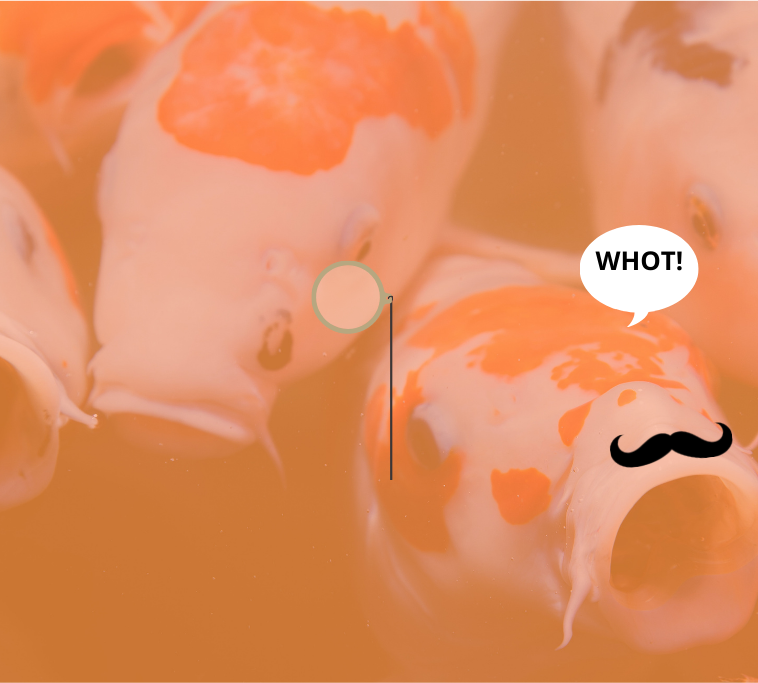 """Several white and orange Koi fish looking surprised. One is wearing a monocle. The other has a moustache and is exclaiming, """"WHOT!"""""""
